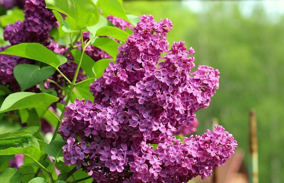 bez bzy wiosna kwiaty drzewa majówka