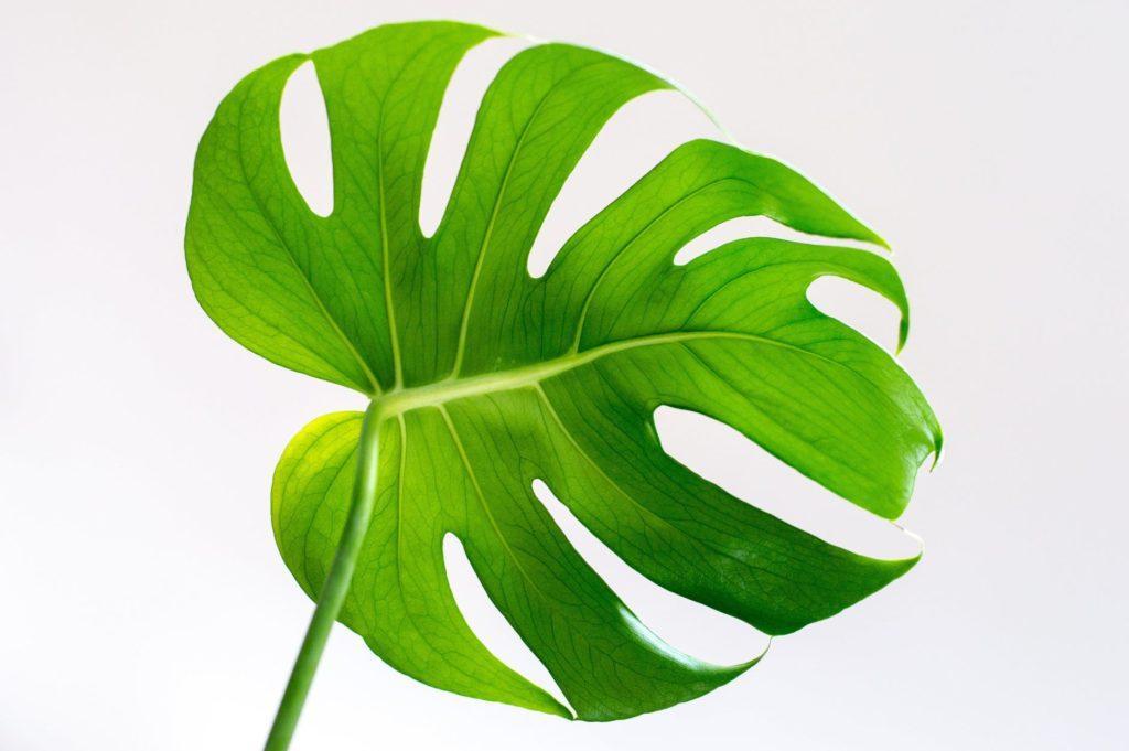 duży liść świeży zielony liść zieleń roślina święci świętość